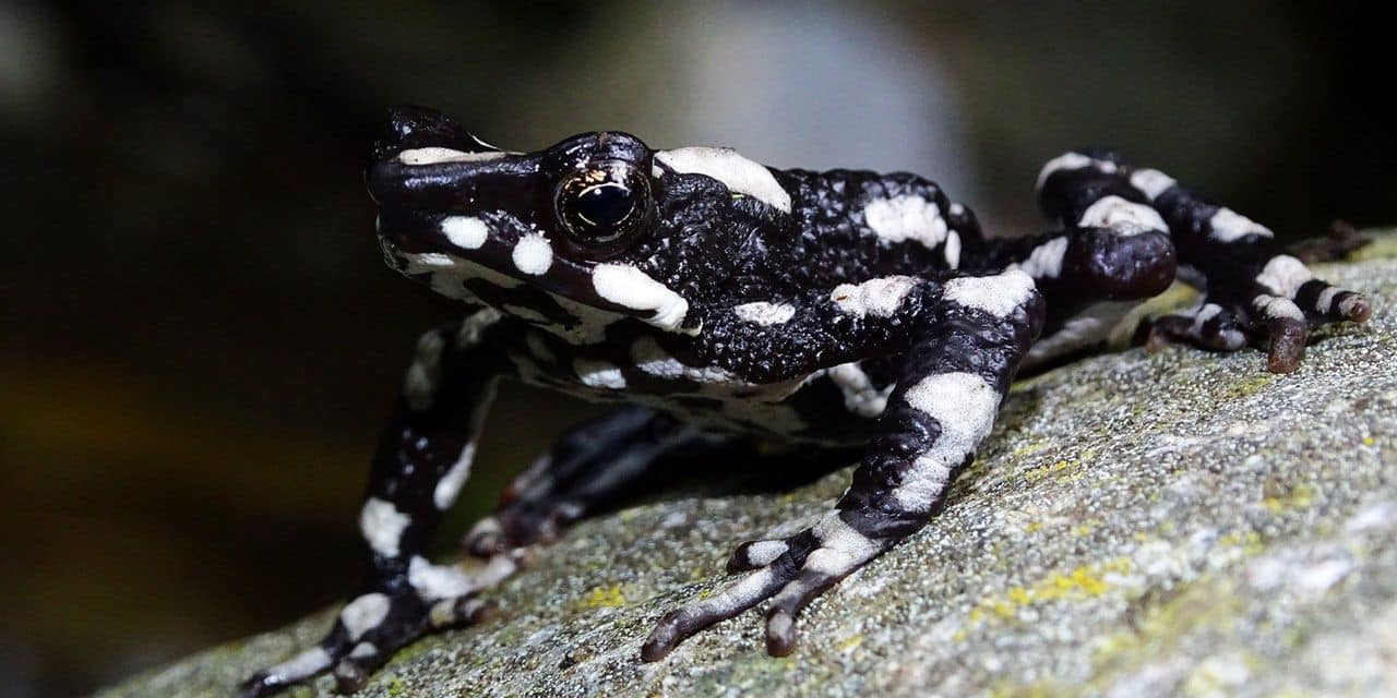 La grenouille arlequin nuit étoilée signe son grand retour