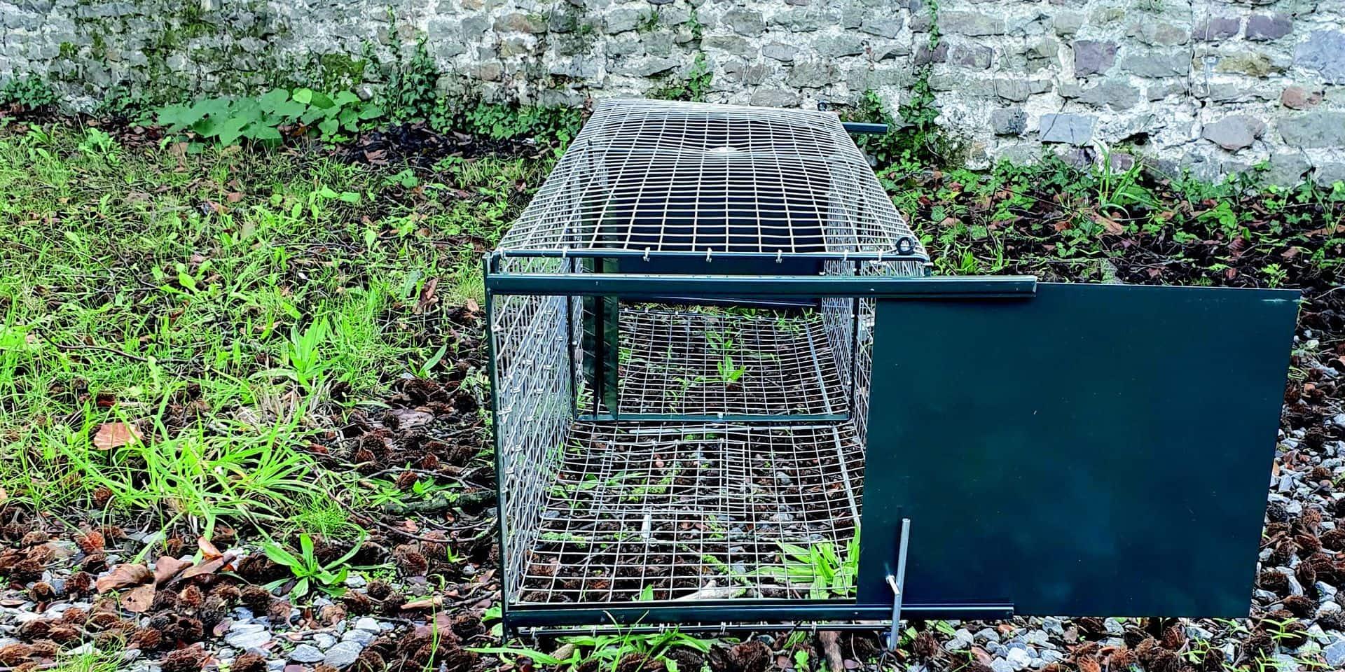 Péruwelz : des cages-trappes pour les chats errants