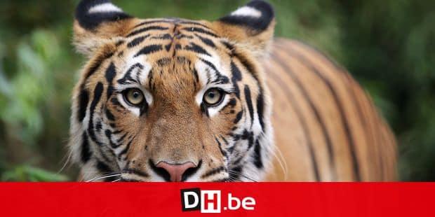 Une tigresse meurtrière abattue après une battue d'ampleur — Inde