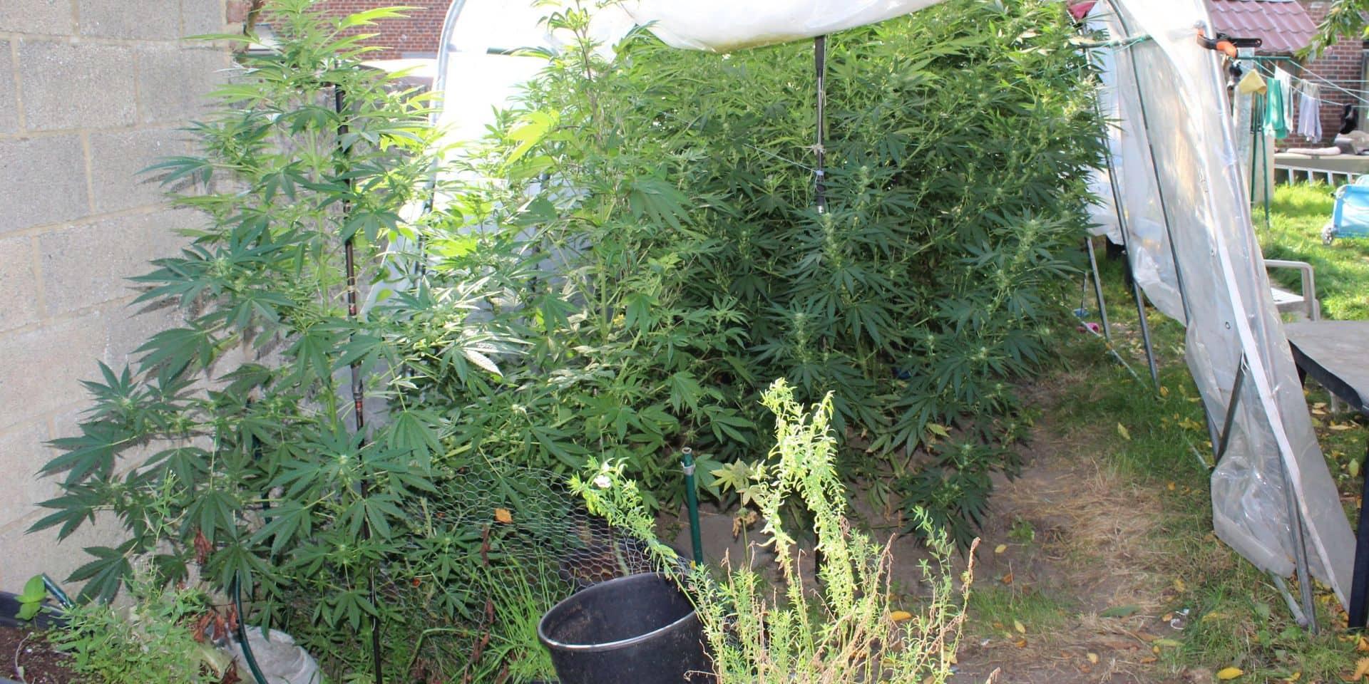Honnelles: des plants de cannabis découverts dans un jardin