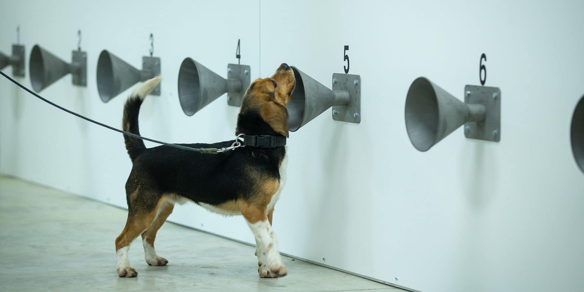Des chiens pour détecter le coronavirus auprès de footballeurs ? Le KV Ostende prend part au projet et les résultats sont prometteurs !