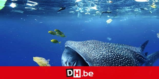 Whale shark (Rhincodon typus) feeding in the midle of plastic bags and other platic garbage. Tailand - Composite image. Composite image