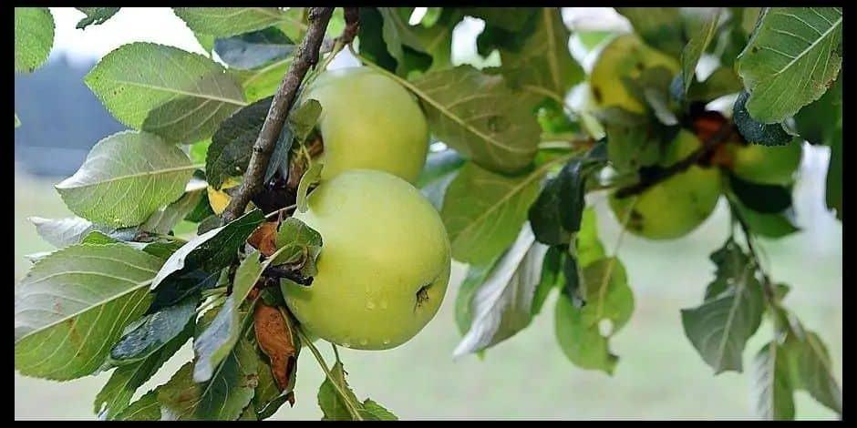 Namur : les petits fruitiers à l'honneur lors de la journée de l'arbre