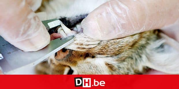 """An employee of the French Forest and Hunting Office (Office Nationale des Forets et de la Chasse) measures the teeth of a """"ghjattu-volpe"""" (fox-cat) Felis Silvestris on June 12, 2019 in Asco on the French Mediterranean island of Corsica. - The Corsican fix-cat is a new specie of feline according to the ONCFS. (Photo by PASCAL POCHARD-CASABIANCA / AFP)"""