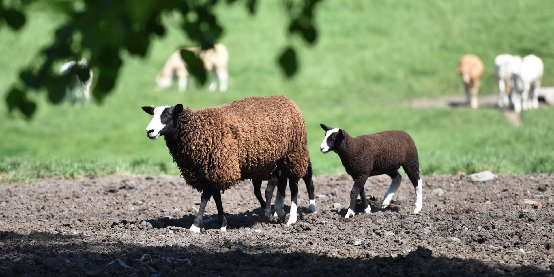Des animaux plutôt que des machines pour tondre la pelouse autour du commissariat de Nivelles