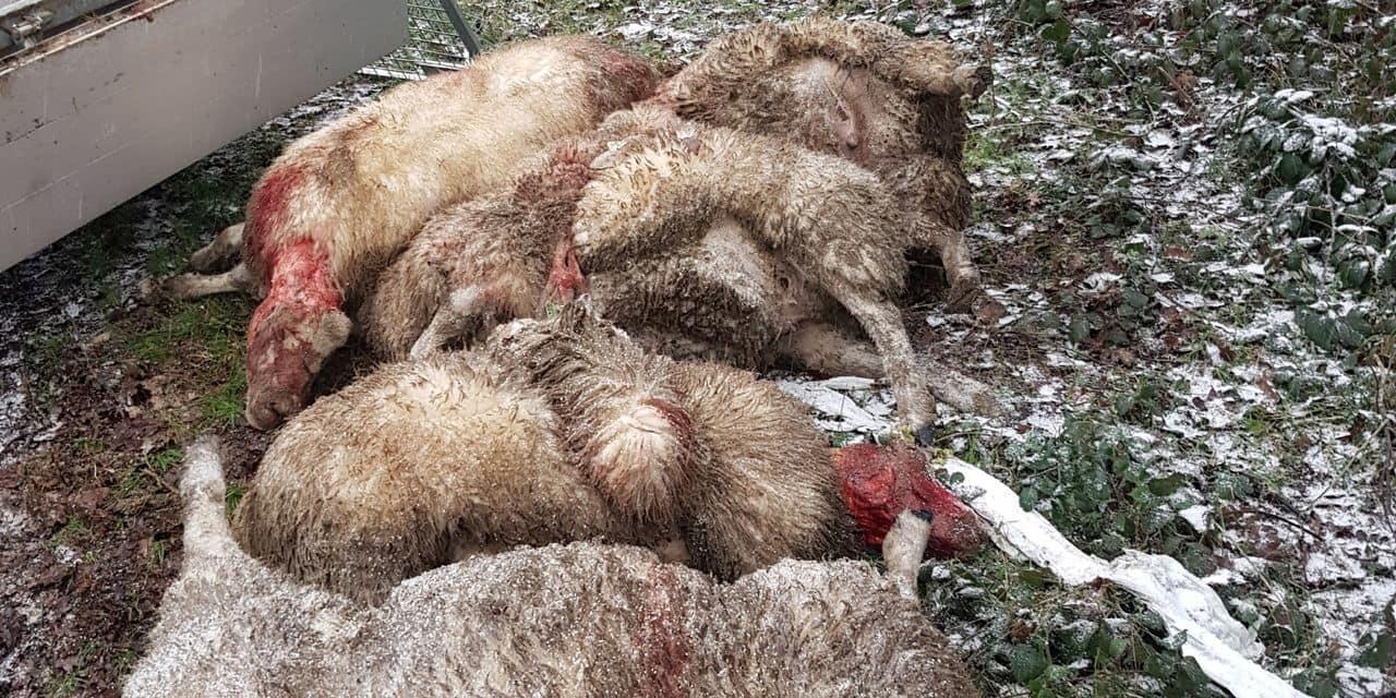 Sept moutons égorgés par un loup : les éleveurs sont inquiets