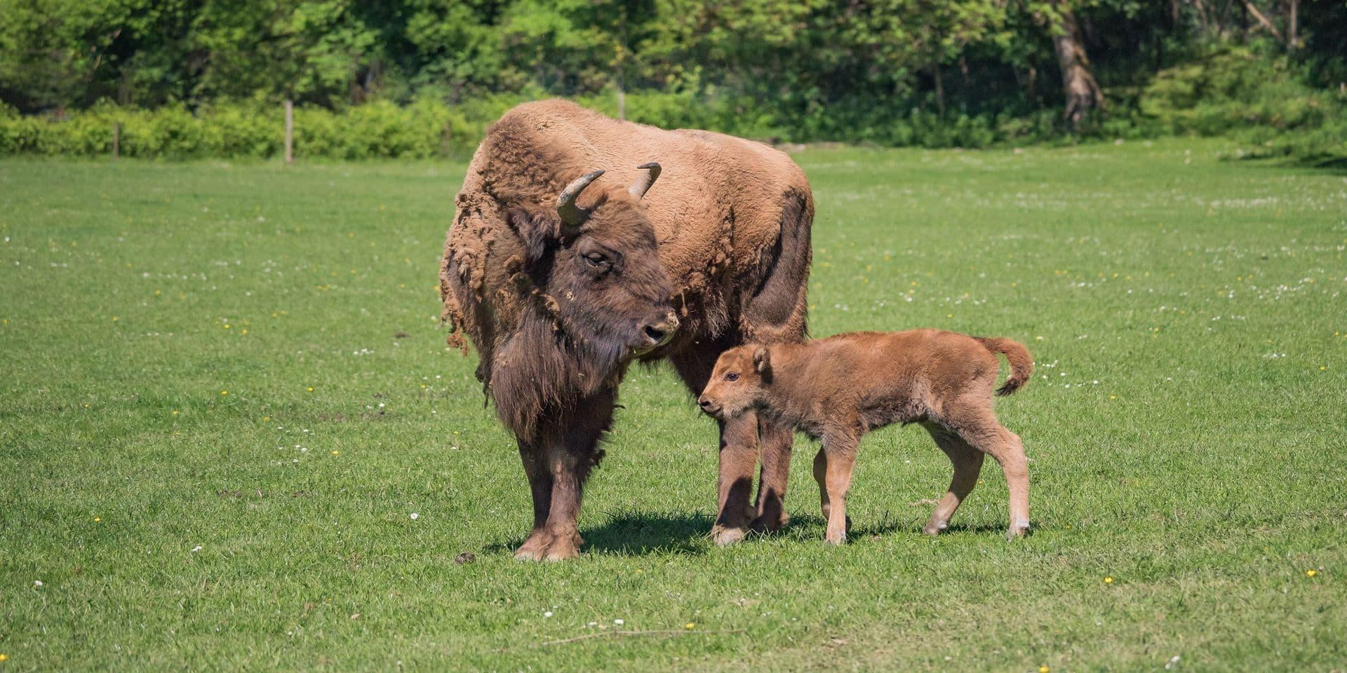 Han-sur-Lesse : une bisonne est née dans le parc animalier