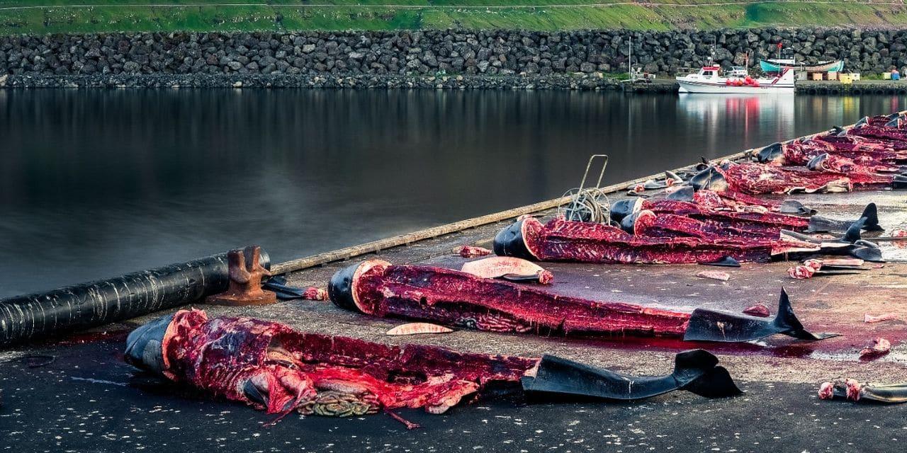 """1.428 delfines murieron """"accidentalmente"""" en las Islas Feroe durante una  tradición"""