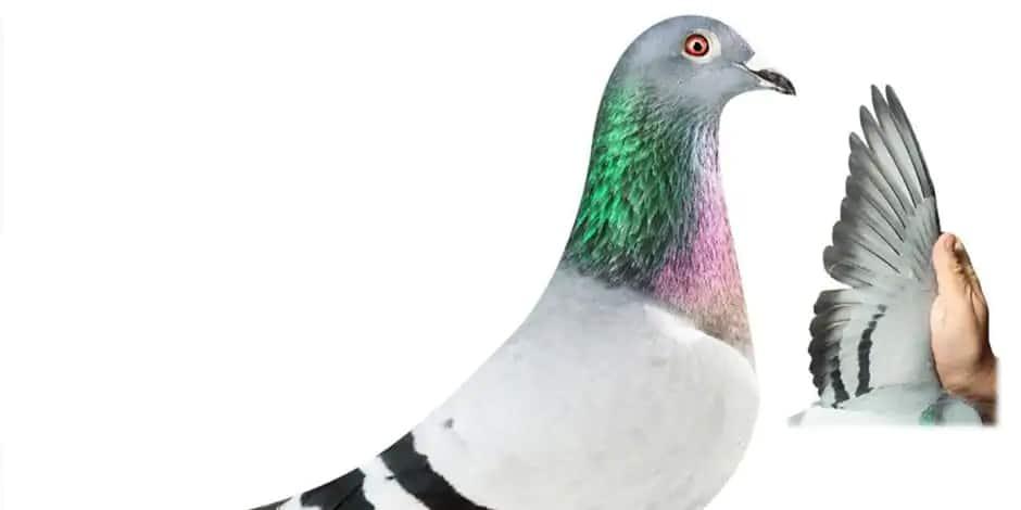 Le pigeon voyageur le plus cher de l'histoire, est belge: New Kim vendu 1 600 000 euros !