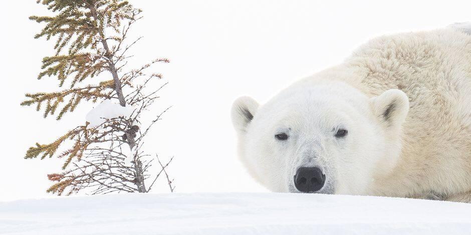 Un homme tué par un ours blanc en protégeant ses enfants — Canada