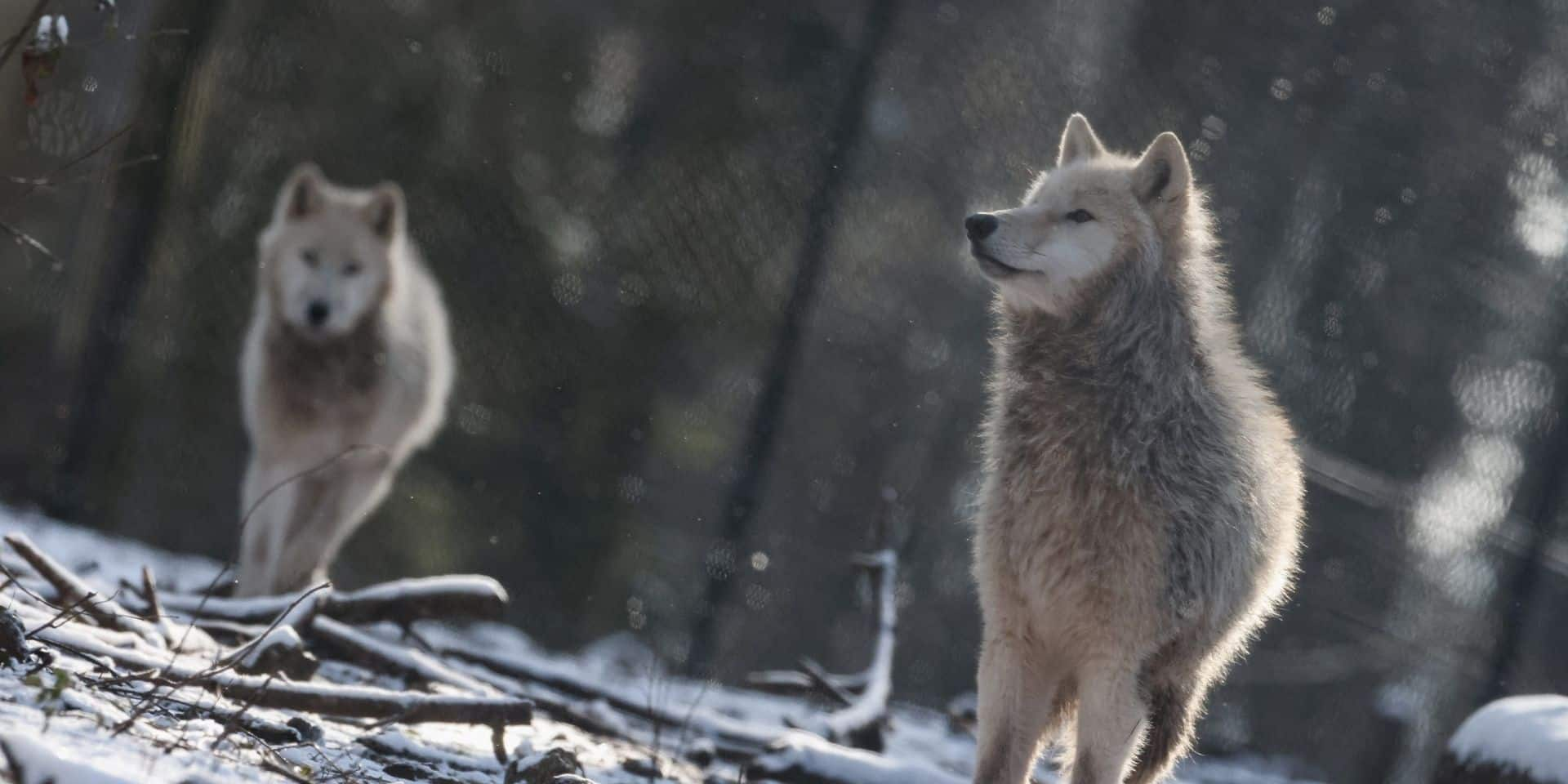 """De plus en plus d'attaques de loup dans les Hautes-Fagnes: """"Les moutons et chèvres sont des proies facilement accessibles'"""