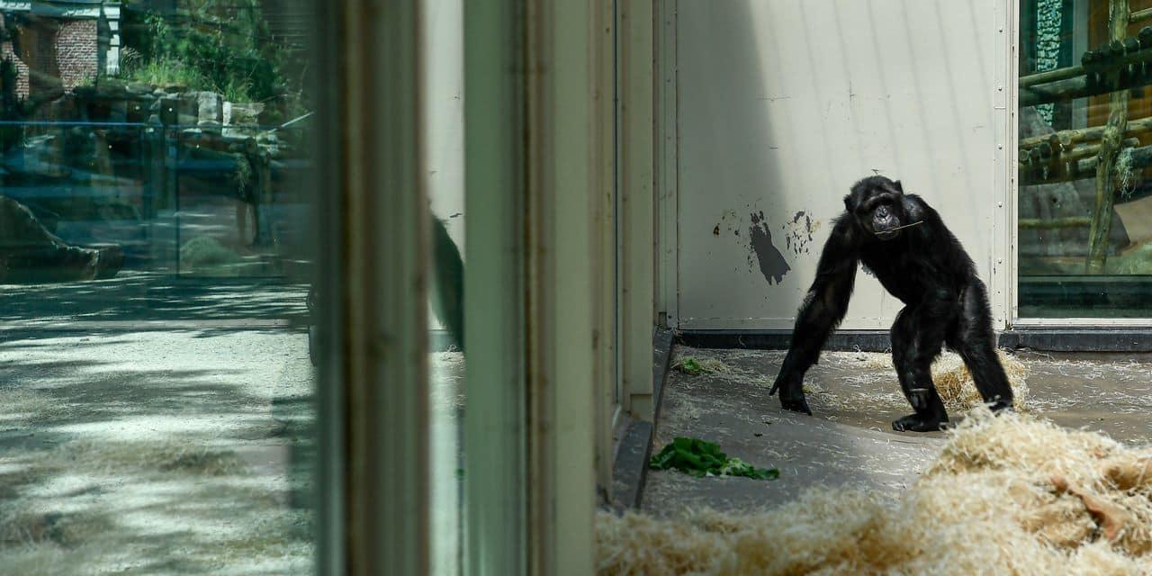 """Cet animal m'aime, et je l'aime"""" : le zoo d'Anvers interdit à une dame de rendre visite à un chimpanzé - DH Les Sports+"""
