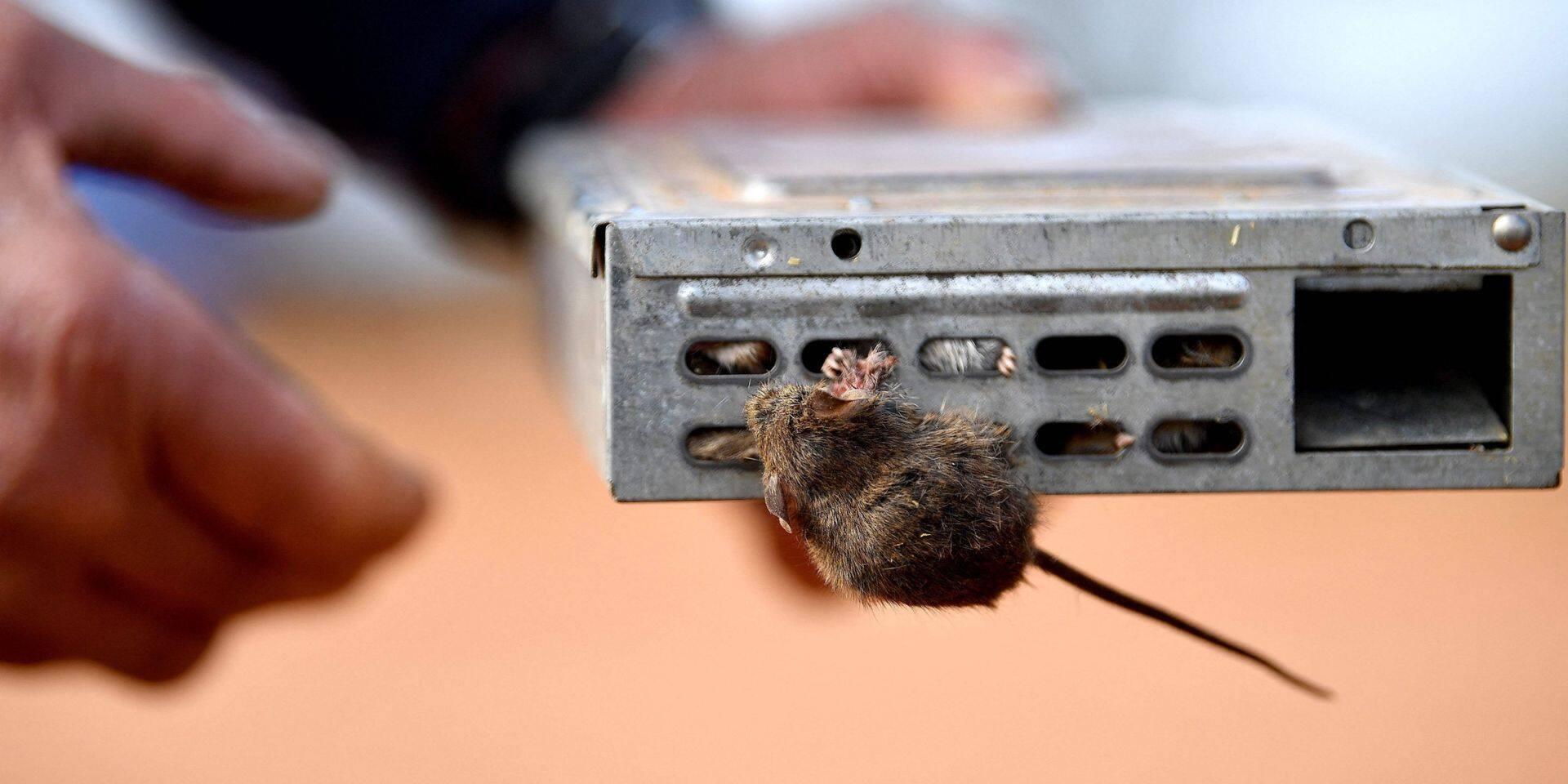 Australie: après les catastrophes climatiques, des fermiers victimes de... souris dévastatrices !