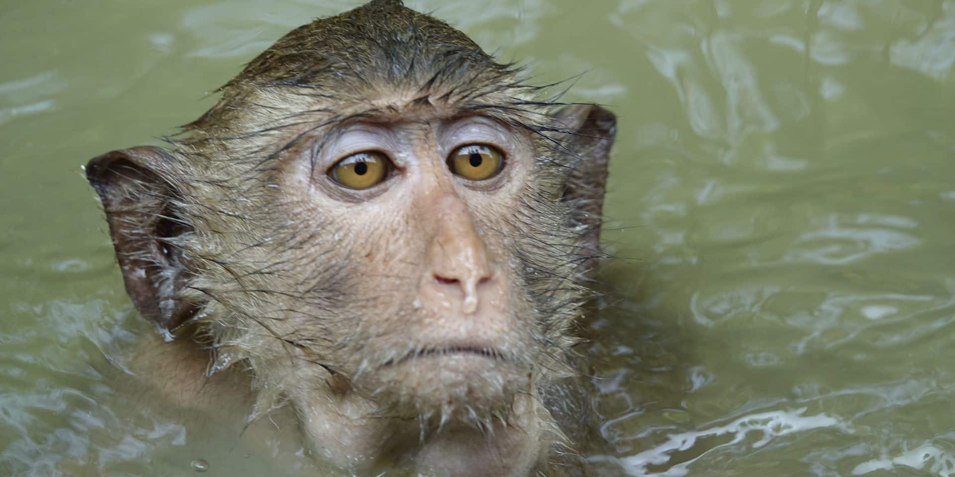 Le macaque qui avait fait un selfie ne touchera pas les droits d'auteur