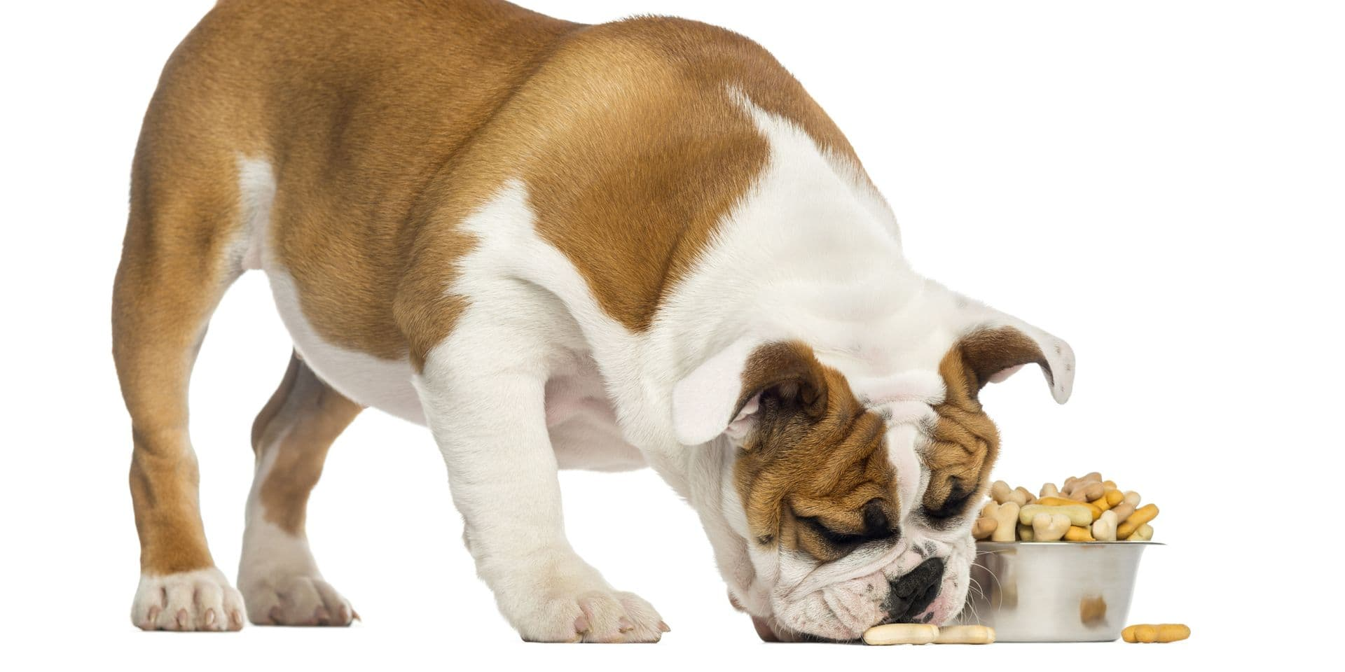 English,Bulldog,Puppy,Standing,,Eating,From,A,Bowl,Full,Of