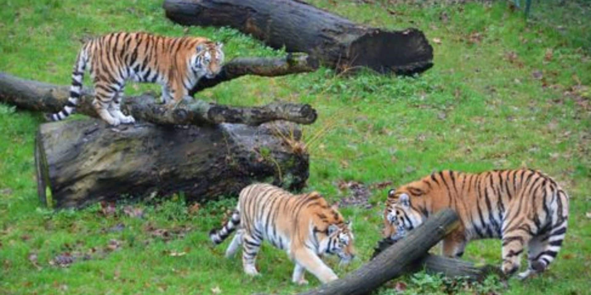Bellewaerde accueillera quatre tigres de l'Amour, félins menacés d'extinction