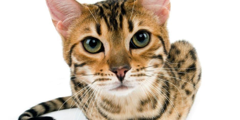 Le chat bengal autorisé en Région bruxelloise à partir de la cinquième génération