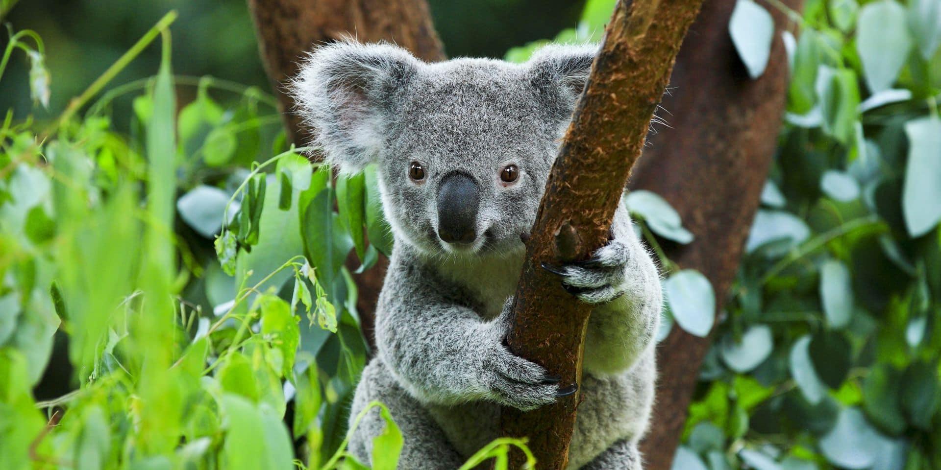"""Les koalas connaissent un déclin """"inquiétant"""" en Australie"""