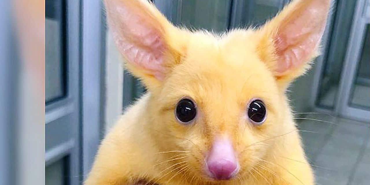 Un sosie de Pikachu découvert en Australie