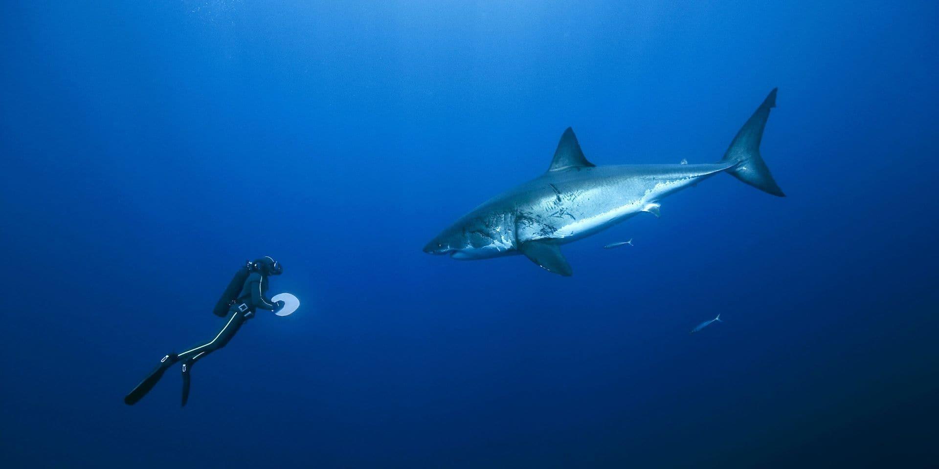 Un requin blanc décède dans une attraction touristique