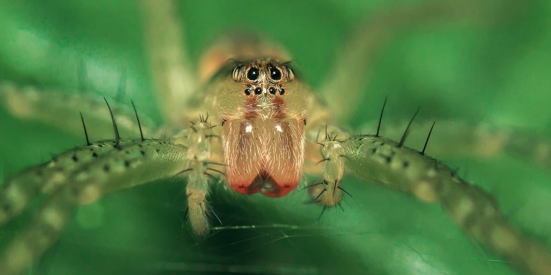 L'araignée européenne de l'année est belge!