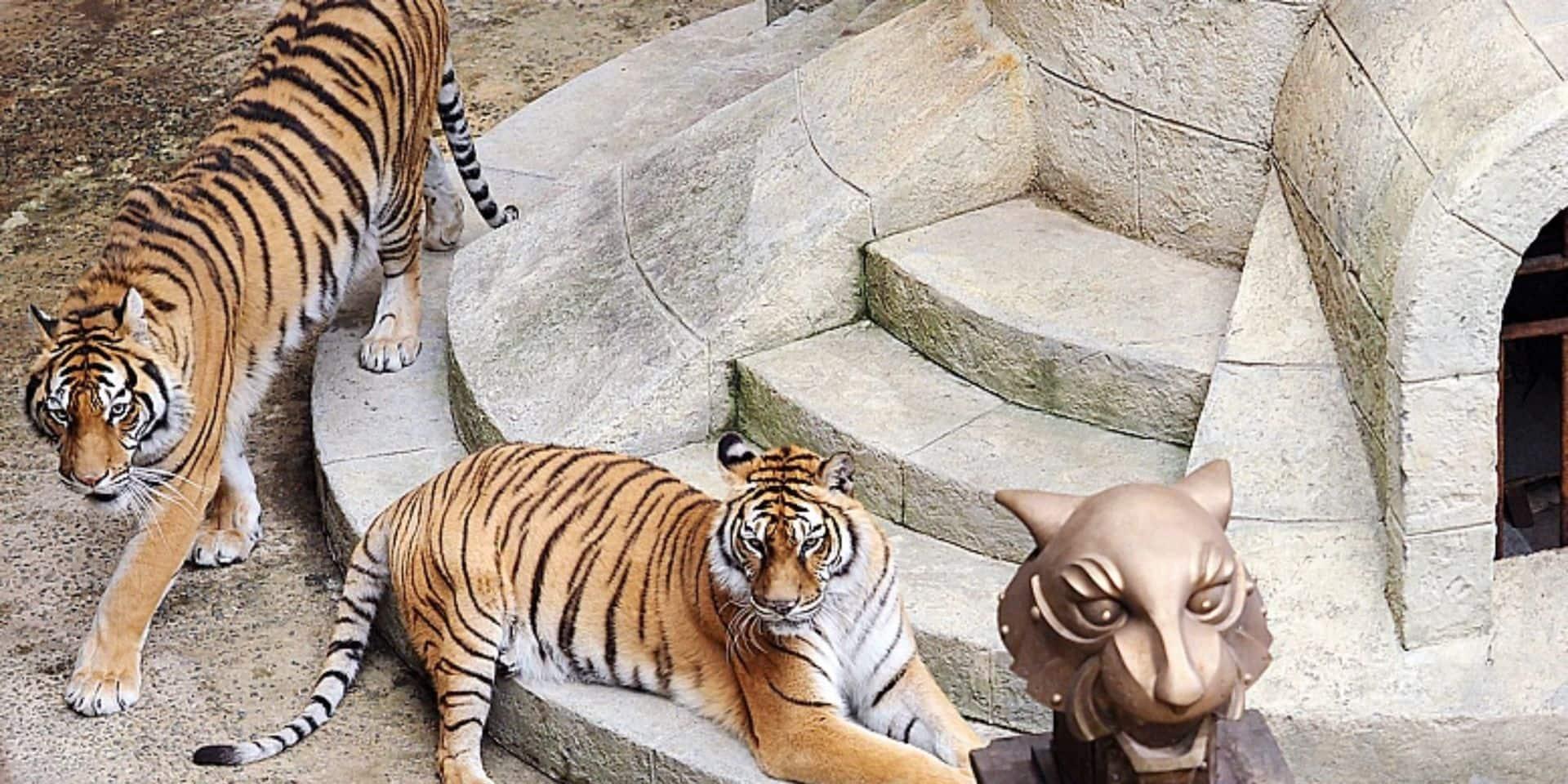 Les tigres dans Fort Boyard, c'est fini !