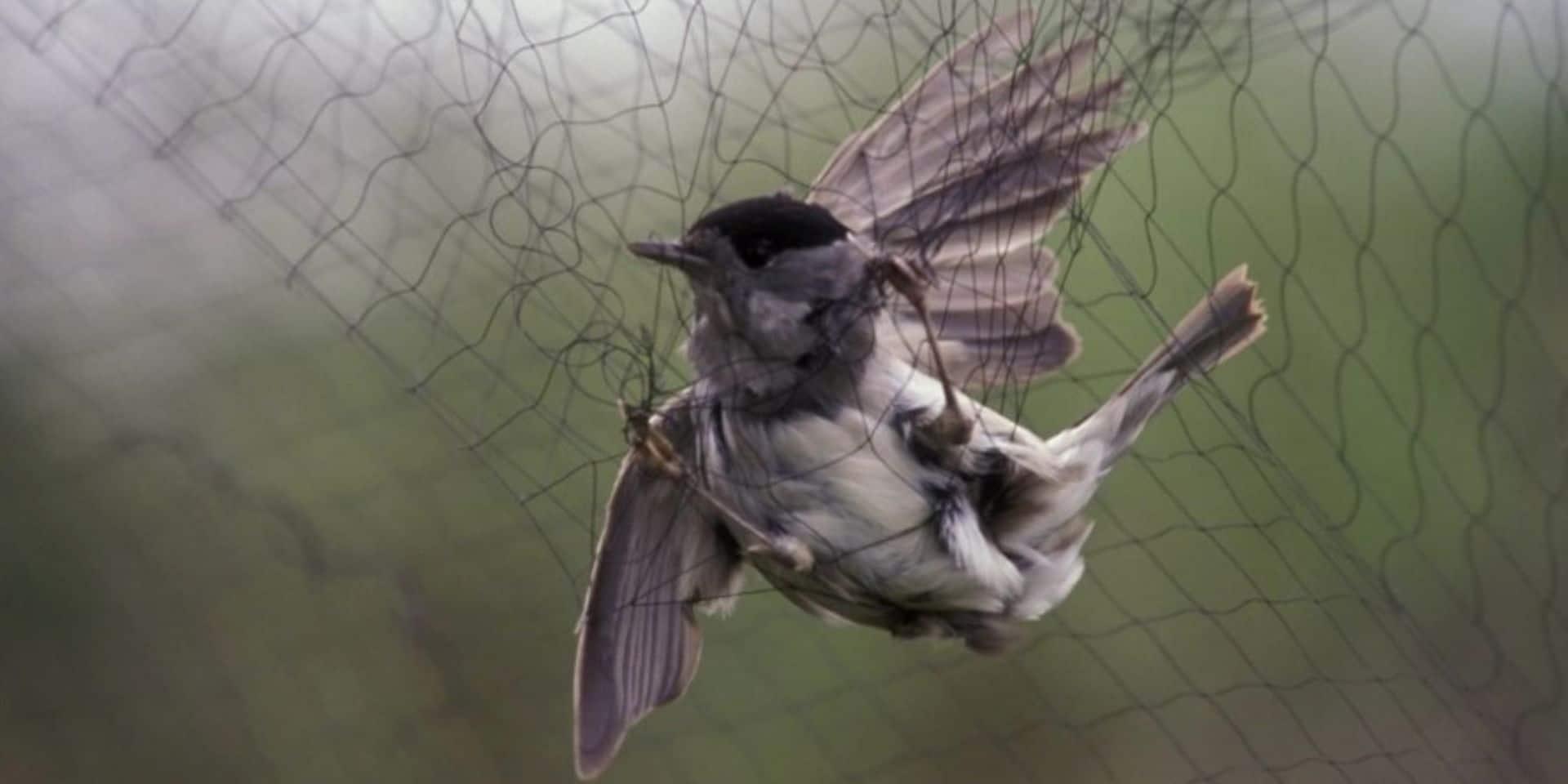 Bastogne : un ancien échevin surpris en train de capturer illégalement des oiseaux