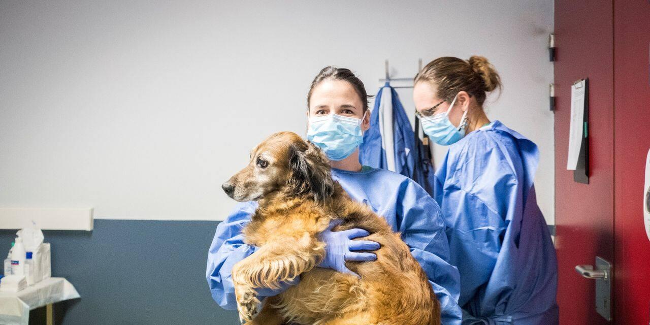 """""""Les chiens étaient prêts pour la détection du coronavirus"""": pour le professeur Hugues Guyot, la pilule ne passe pas"""