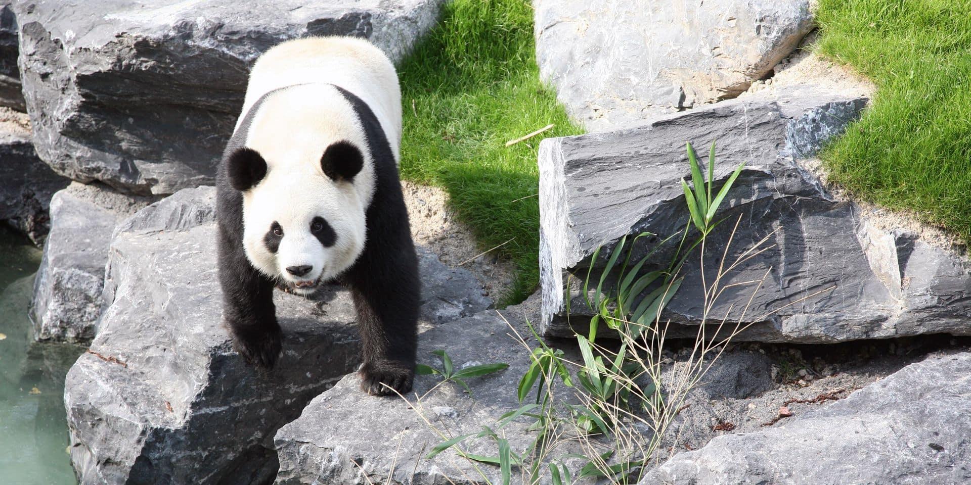 Le soigneur blessé par un panda de Pairi Daiza est toujours hospitalisé