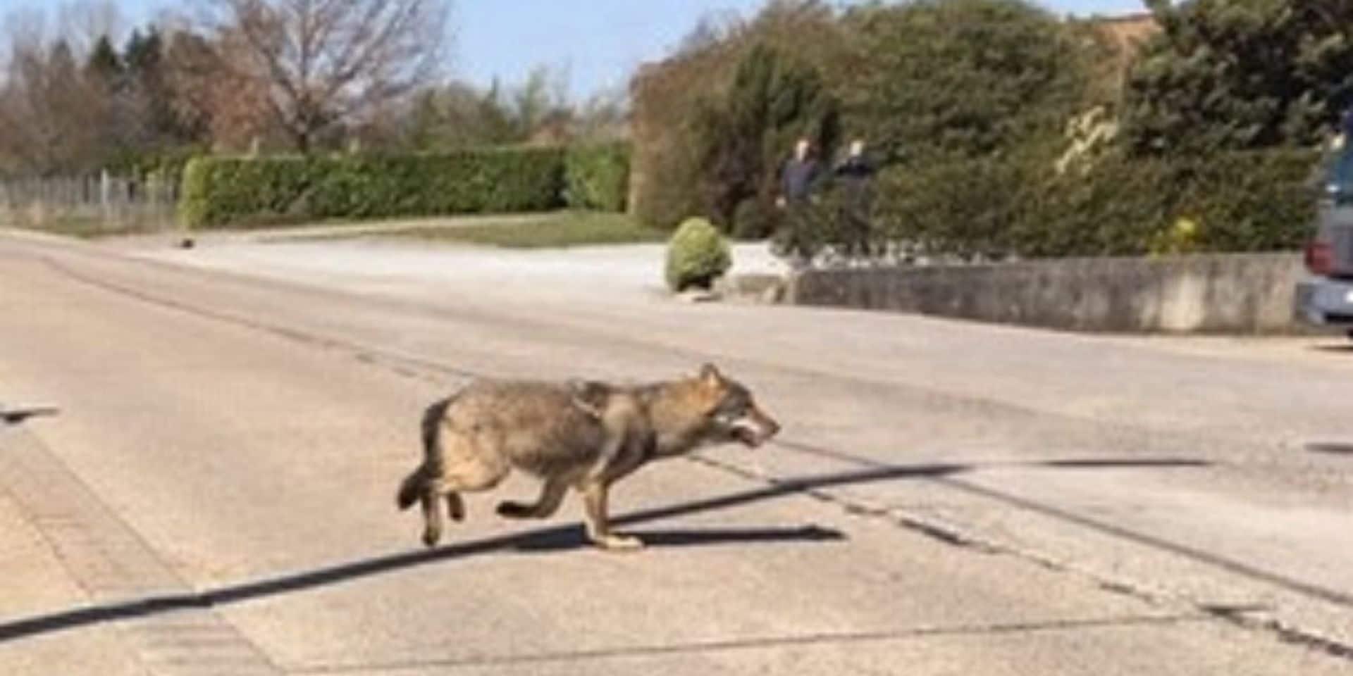Un loup à nouveau repéré en Flandre