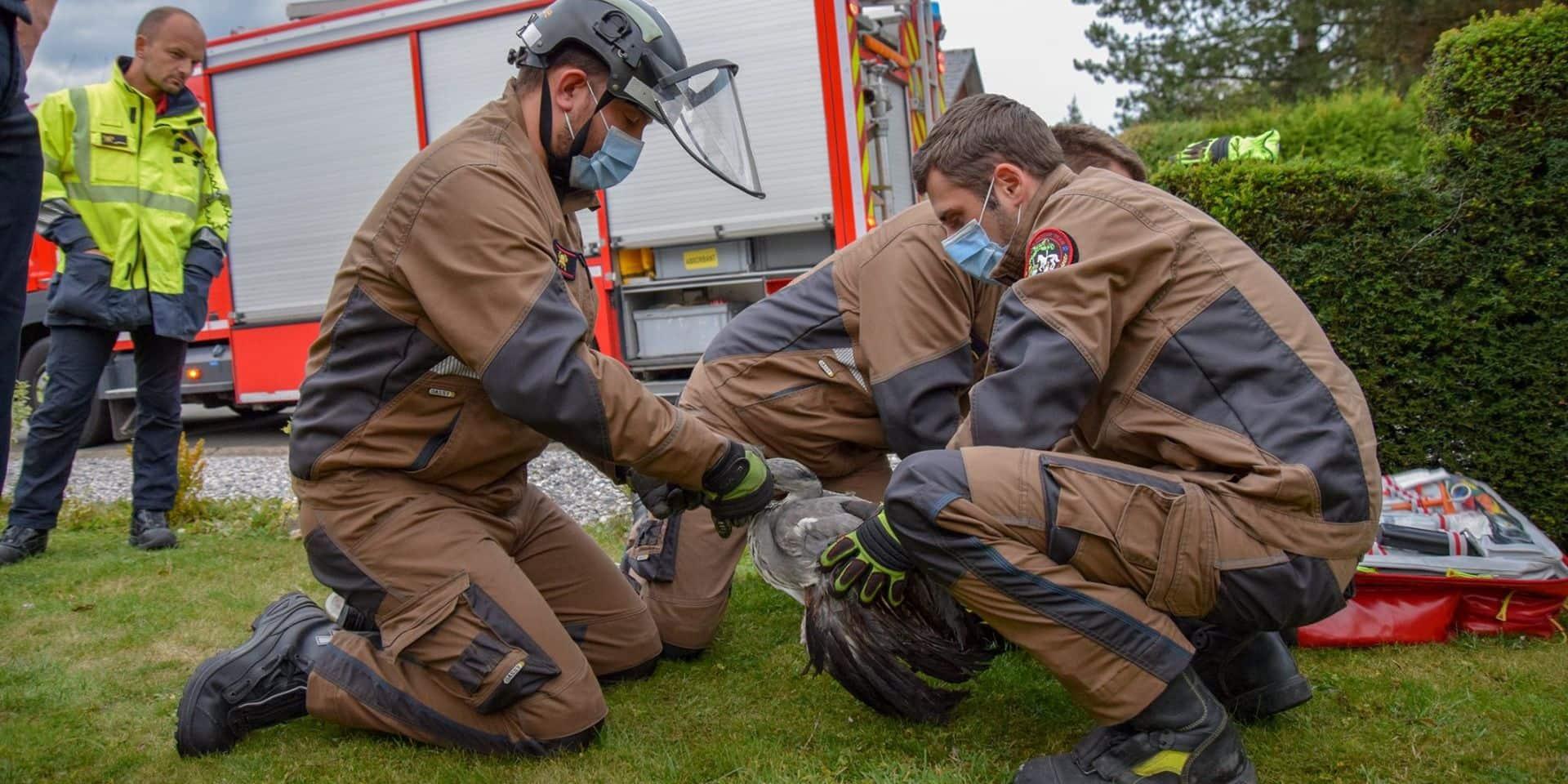 Neupré : les pompiers sauvent un jeune héron