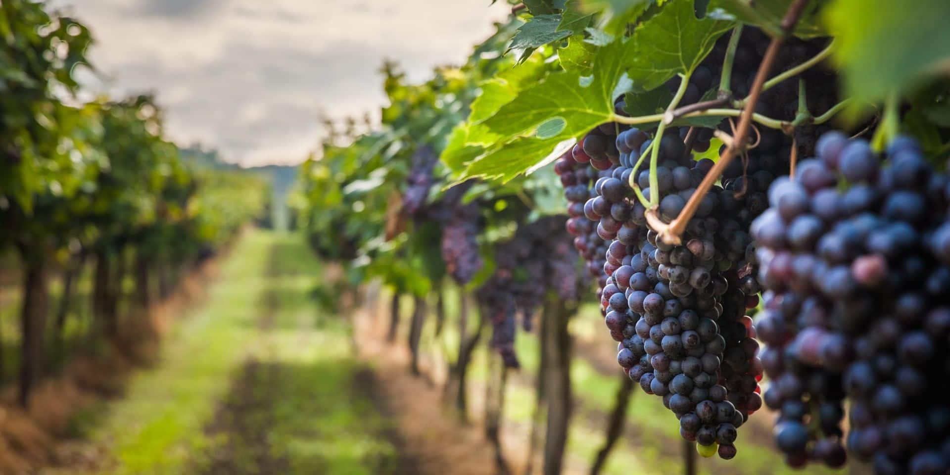 Avril et mai sont propices à la plantation de vignes: voici nos conseils pour une récolte réussie