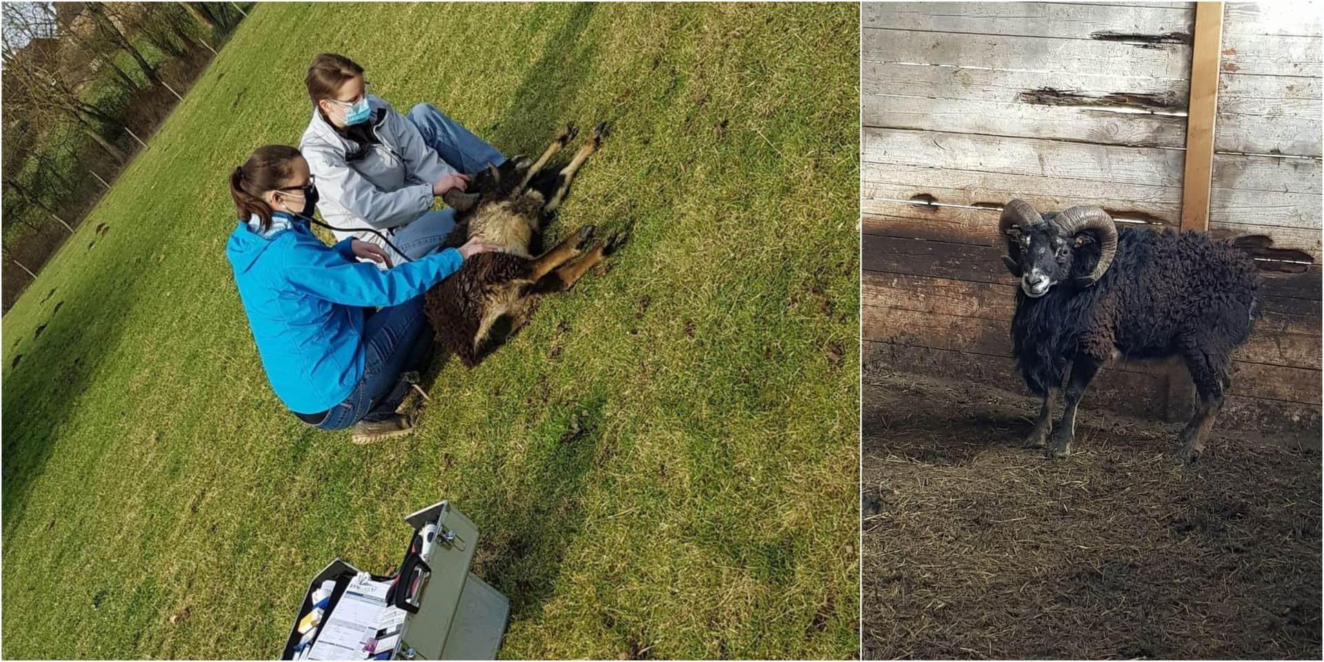 Un des moutons du parc Saint-Jean à Tubize retrouvé malade, il a été pris en charge