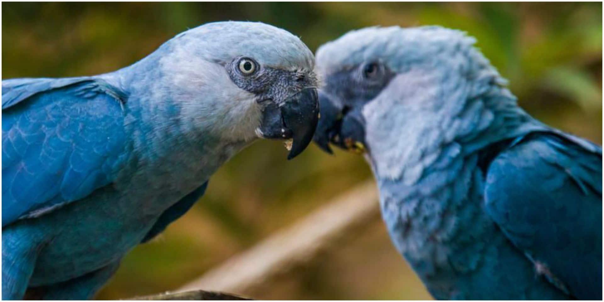 """""""Pour moi, c'est le grand jour…"""": les Ara de Spix de Pairi Daiza rejoignent leur milieu naturel"""