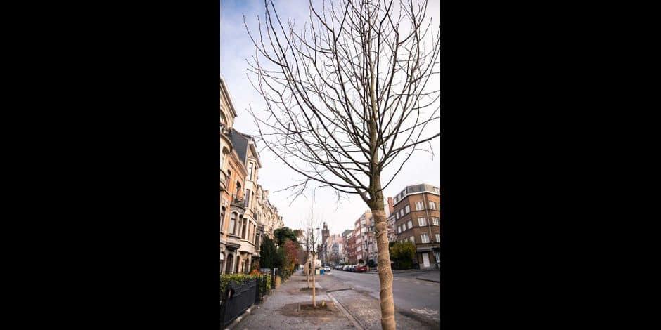 Schaerbeek : Des nouveaux tilleuls ont été plantés sur l'avenue Demolder